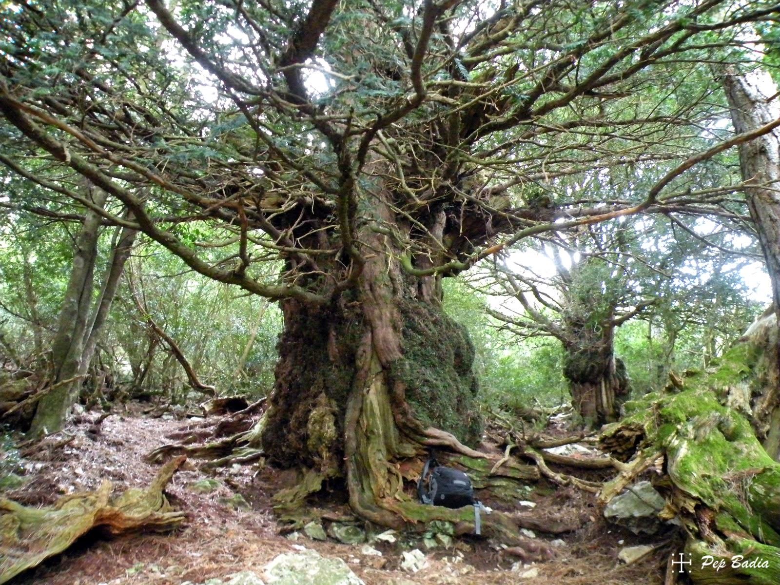 Els arbres vells amics. Els teixos del Marturi.